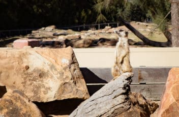 Travel With Meraki- Taronga Western Plains Zoo Dubbo Australia Meerkat