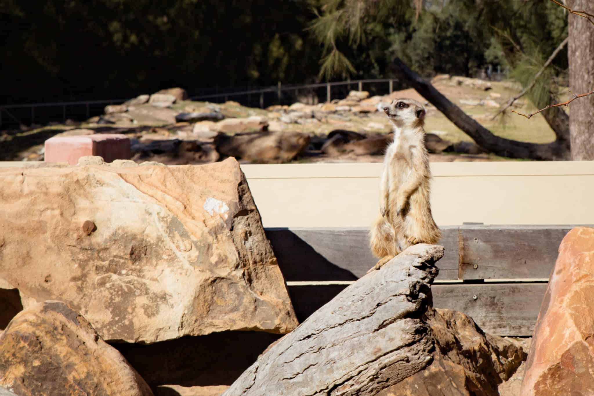 Travel With Meraki- Taronga Western Plains Zoo Dubbo Australia Meerkat