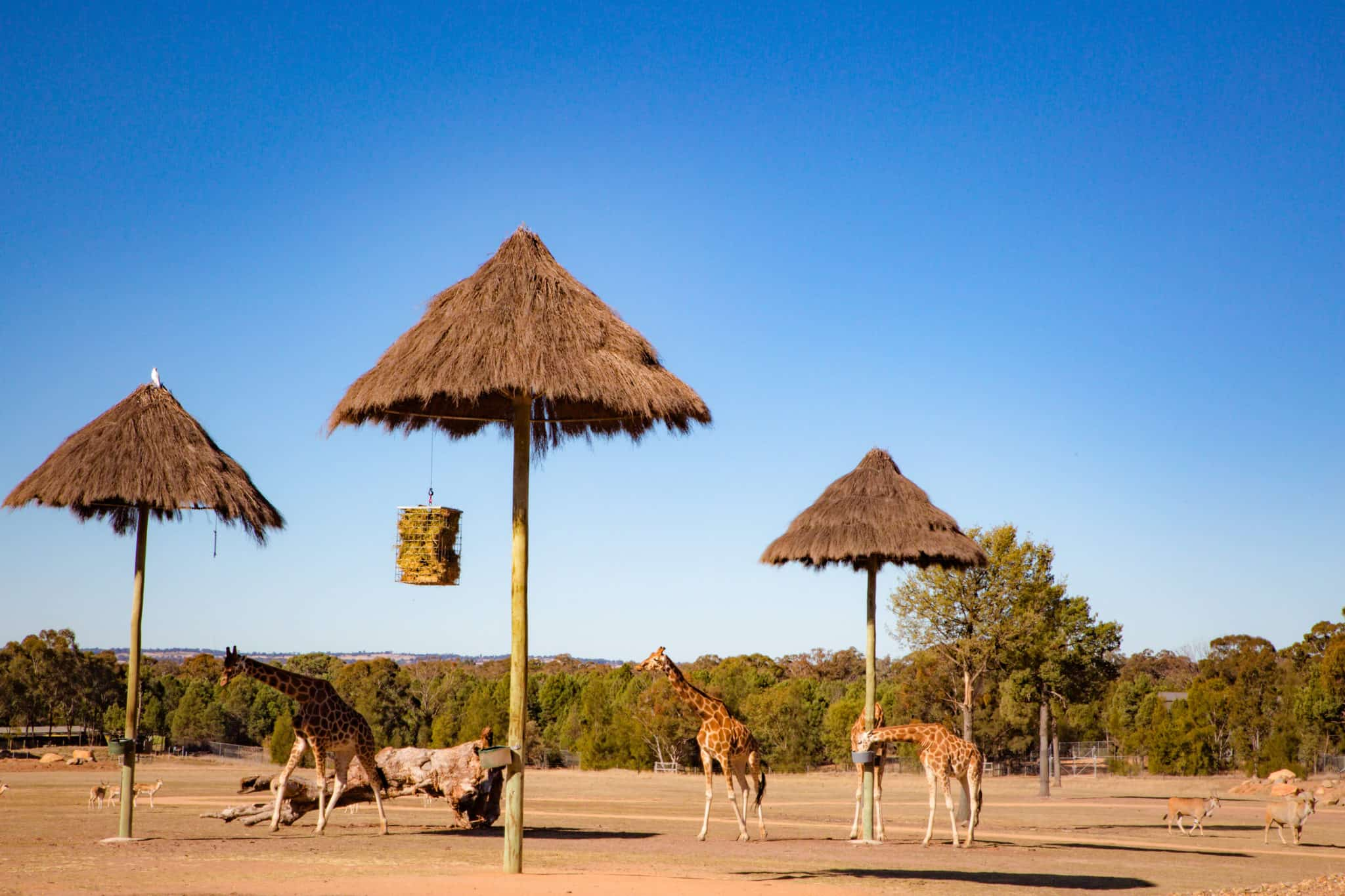 Travel With Meraki- Taronga Western Plains Zoo Dubbo Australia Savannah Views at Zoofari Lodge