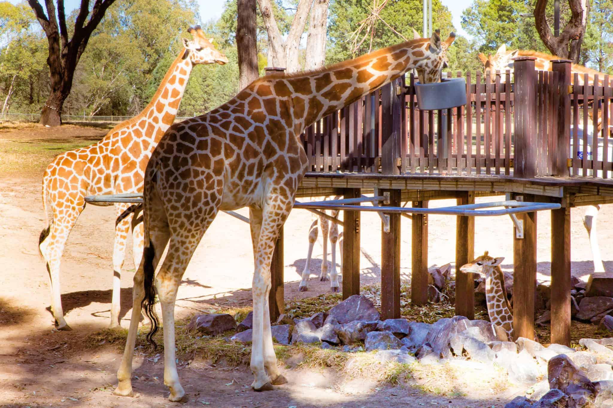 Travel With Meraki- Taronga Western Plains Zoo Dubbo Australia Giraffe